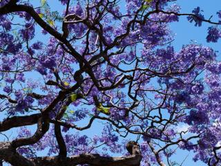 Jackaranda tree in full bloom